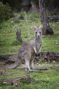 animal;australia;country;countryside;track;view;wallaby;wild;wilderness;wildlife