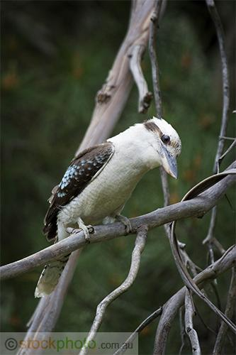 animals;wildlife;birds;Kookaburra;chiken;wire;fauna;kookaburra;laughing;look;native;novaeguineae;zoo;animal;australia;australian;beak;plumage;tail;wild;wing;bill;close-up;dacelo;endemic;gaze;glare;kingfisher;zoological;grampians;bird;plants;Dacelo;vertical;