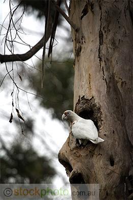 vertical;nesting;tree;hollow;australia;bird;white;wild;wing;branch;corella;native;parrot;sky;western;wings;Cacatua;pastinator;birds;fauna;animal;