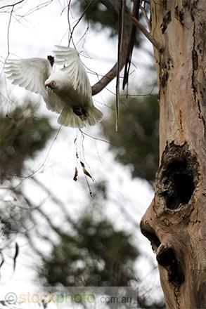 vertical;nesting;tree;hollow;australia;bird;white;wild;wing;branch;corella;native;parrot;sky;western;wings;Cacatua;pastinator;birds;fauna;animal;flying;