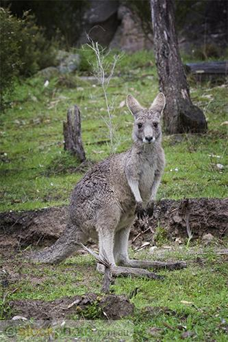 animal;australia;country;countryside;track;view;wallaby;wild;wilderness;wildlife;fauna;grey;creature;jumping;kangaroo;mammal;mountain;outback;outdoors;rural;scene;scenery;summer;tail;grampians;aussie;australian;grass;gray;green;herbivores;jump;kanga;lazy;looking;marsupial;native;natural;nature;pouched;rest;roo;standing;tall;victoria;Eastern;Grey;vertical;