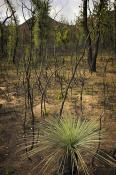 Grampians;plants;tree;environment;events;fire;brush;fire;forest;fire;shrub;burnt