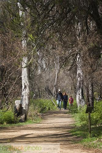 gum;gumtree;trees;tree;tourist;tourism;fern;bracken;action;motion;walking;track;path;people;gender;female;women;woman;male;boy;age;teen;teenager;youth;vertical;burnt;fire;regrowth;victoria;grampians;australia;