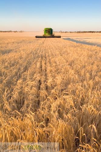 9600;afternoon;agriculture;agronomy;barley;cereal;cereals;color;colour;combine;combining;countryside;crop;crops;cultivation;cut;cutting;deere;farm;farming;farmland;field;food;gather;gender;golden;grain;grow;harvest;harvester;harvesting;hasrvester;header;hopper;job;john;labour;machine;machinery;outdoors;physical;plant;produce;scenic;seed;tractor;tractors;vegetation;victuals;work;working;yellow;vertical;stubble;
