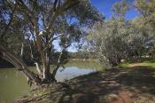 plants;tree;deciduous;ash;environment;scenery;water;river;murray;nyah;river;bank