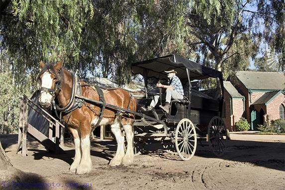 pioneer;settlement;swan;hill;victoria;old;old;fashioned;carriage;animals;livestock;horse;draft;horse;working;horse;Clydesdale;horizontal;man;
