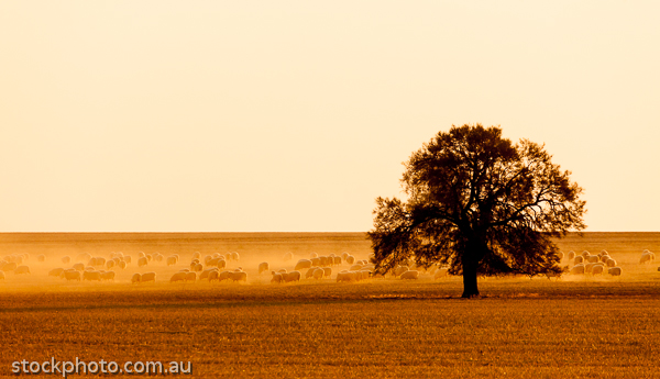 agriculture;agronomy;animal;animals;citrus;country;creature;creatures;crop;crops;cuisine;desert;diet;dusrt;ecology;ecosystem;environment;environmentalism;evening;ewe;farm;farming;field;flock;food;food and nutrition;fruit;gold;grazing;herd;lamb;landscape;light;livestock;mallee;natural;nature;orange;paddock;practices;scenery;sheep;silhouette;skies;sky;sun;sunlight;sunset;tree;view;weather;wool;yellow;zoology