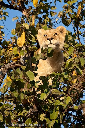 Senka;africa;african;animal;animals;antelope;carnivore;cat;dangerous;environment;feline;fur;game;grass;grassland;gweru;habitat;hunter;leo;lion;mammal;mane;natural;nature;outdoor;park;predator;safari;savanna;savannah;south;vertical;walk;walking;wild;wilderness;wildlife;yellow;young;zimbabwe;zoology