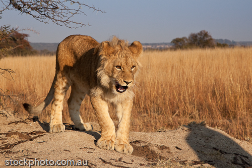 Senka;africa;african;animal;animals;antelope;carnivore;cat;dangerous;environment;feline;fur;game;grass;grassland;gweru;habitat;horizontal;hunter;leo;lion;mammal;mane;natural;nature;outdoor;park;predator;safari;savanna;savannah;south;walk;walking;wild;wilderness;wildlife;yellow;young;zimbabwe;zoology