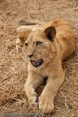 africa;animal;antelope;baby;beautiful;brown;canine;carnivore;cat;creature;cub;cute;down;eye;face;fang;feline;female;front;fur;furry;gweru;isolated;kitten;lion;little;lying;male;mammal;park;paw;predator;pussy;shot;small;tail;undomesticated;up;vertical;view;walk;whisker;wild;wildlife;young;zimbabwe