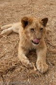 africa;animal;antelope;baby;beautiful;brown;canine;carnivore;cat;creature;cub;cu
