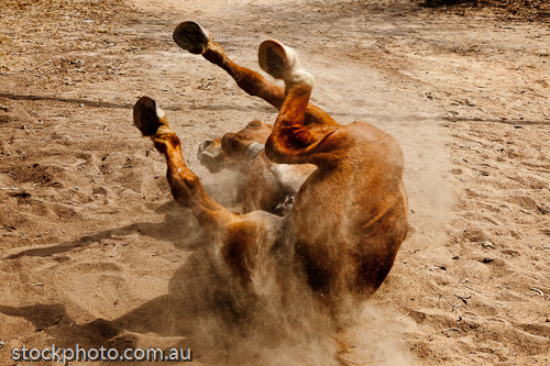 action;africa;african;animal;antelope;back;bath;behavior;body;brown;care;cloud;dust;dustbathing;grown;gweru;hoofed;hoofs;horizontal;horse;kenya;kicking;legs;mammal;nature;park;rolling;skin;stallion;upside;walk;wallow;washing;wild;zimbabwe