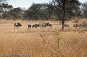 africa;african;animal;antelope;area;beast;big;conservation;cows;environment;game