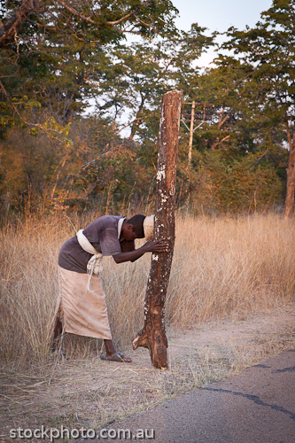 Dete;africa;african;africana;big;carry;collecting;conservation;ecology;habitat;heavy;large;load;logs;miombo;national;natural;nature;outdoor;park;savanna;savannah;southern;unspoiled;vertical;wilderness;woman;wood;young;zimbabwe