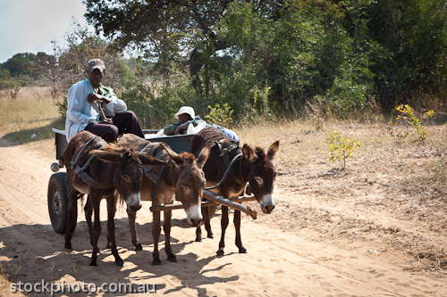 adventure;africa;african;africana;animal;big;carriage;cart;cross;donkey;exotic;farmer;farming;female;horizontal;lifestyle;male;mammal;men;national;natural;outdoor;poor;poverty;safari;southern;tourism;travel;trip;unspoiled;wild;wilderness;wildlife;woman;zimbabwe